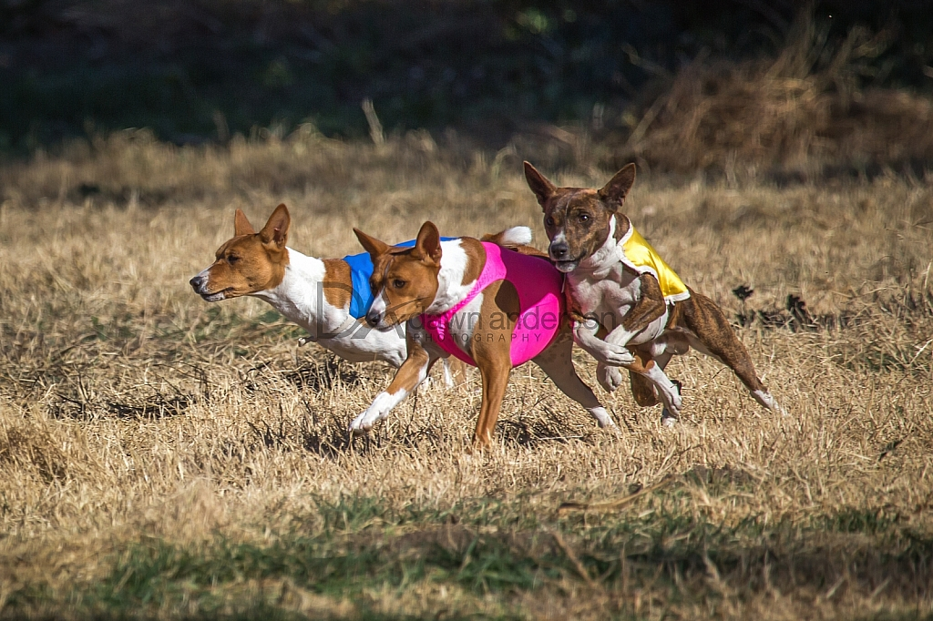 Lure Coursing 12/18-12/19/2015 Chino, California