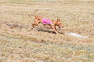 SoCal Lure Coursing 2019 04/12 Lure Coursing Chino