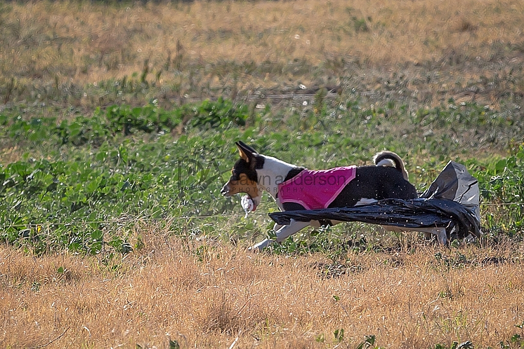 Lure Coursing, Chino Hills CA, 11/27/2015