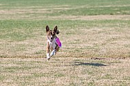 SoCAL CUP Invitational Lure Coursing Trial 12-18-16