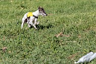 Lure Coursing 02/20/2016 Chino, California