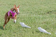 Lure Coursing Chino, CA March, 2017