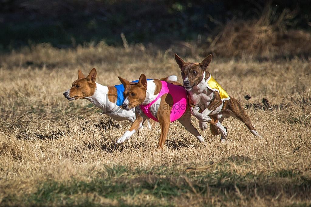 Lure Coursing 12/18-12/19/2015 Chino, California