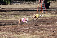January 13, 14 2018 Lure Coursing, Chino, CA