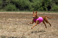 Lure Coursing Chino 5/14/2016