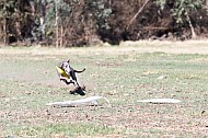 Lure Coursing photos